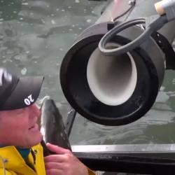 【豪快】鮭は上流で産卵し、繁殖します →ダムが作られた所は鮭が力尽きて死んじゃう! →せや!サーモン大砲や!