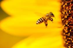 【天敵】ニワトリをミツバチの巣の前に放したことがあるが、凄かった。